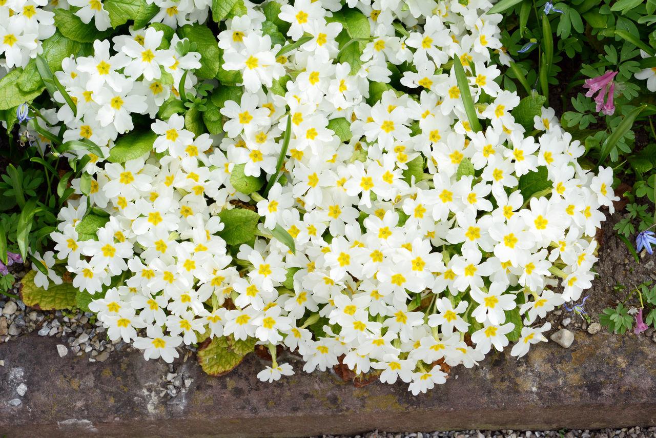 white primrose in blossom. springtime. Flower Plant Primrose Primroses Primula Primulas White White Color White Flower