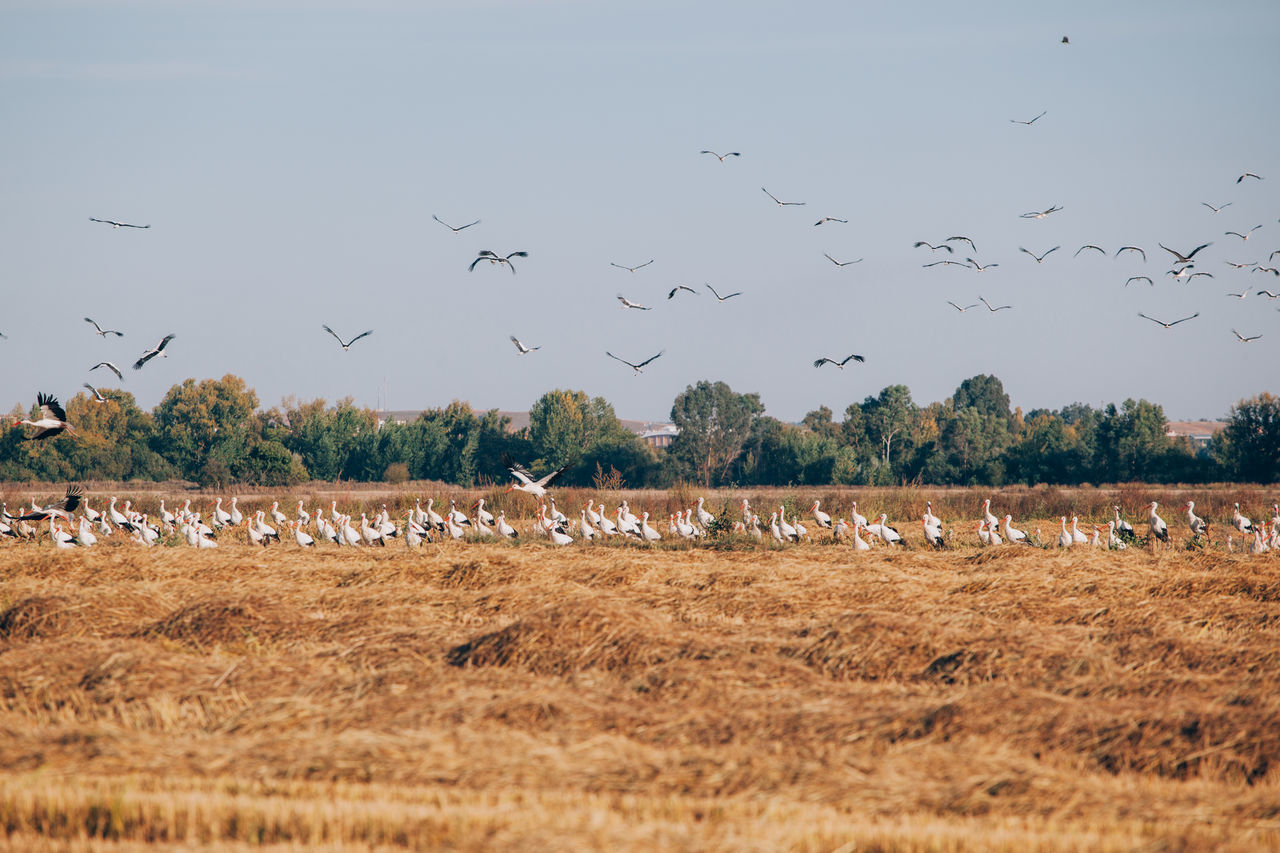 Animal Migration Animal Themes Animal Wildlife Animals In The Wild Beauty In Nature Bird Day Flock Of Birds Flying Large Group Of Animals Migrating No People Outdoors Sky Stork