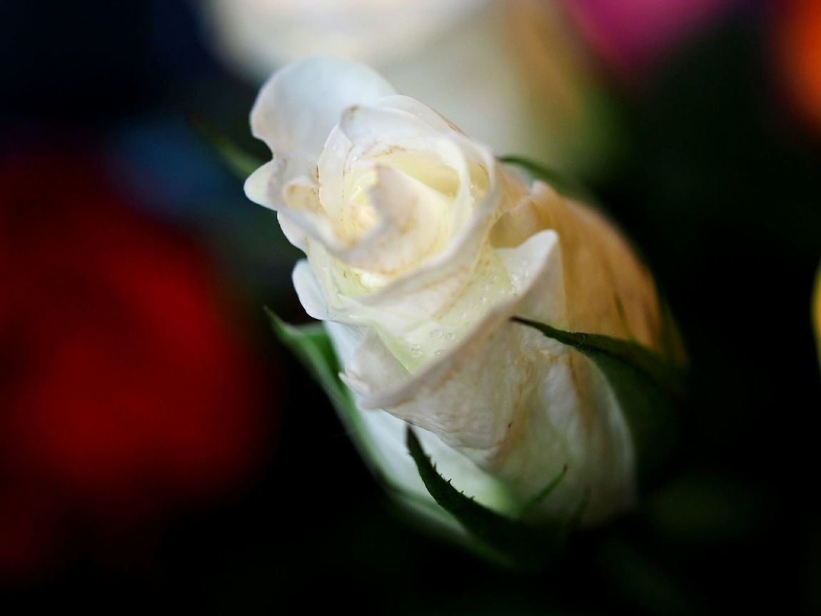 Close-up Fragility Flower Head Freshness Freshness Purity Beauty Beautiful Nature Roses Macro Photography Macro Rose Rose - Flower Waterdrops White Rose In The Dark White Flower Beauty In Nature Nature Petal Flower Elégance Plant Nature Growth