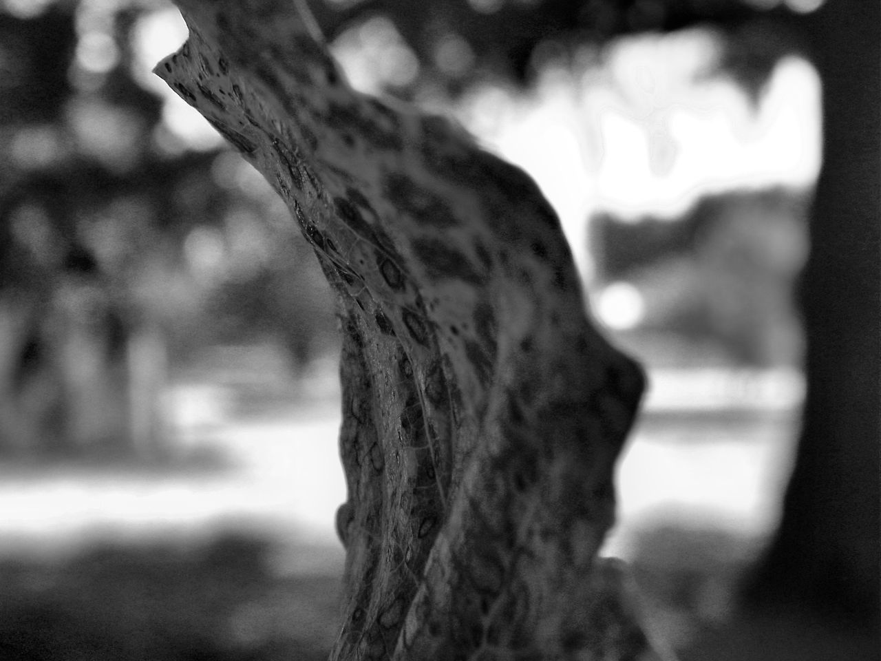 Autumn Black And White Macro Black And White Photography Blackandwhite Bokeh Photography Close-up Day Leaf Macro Photography Nature No People Outdoors