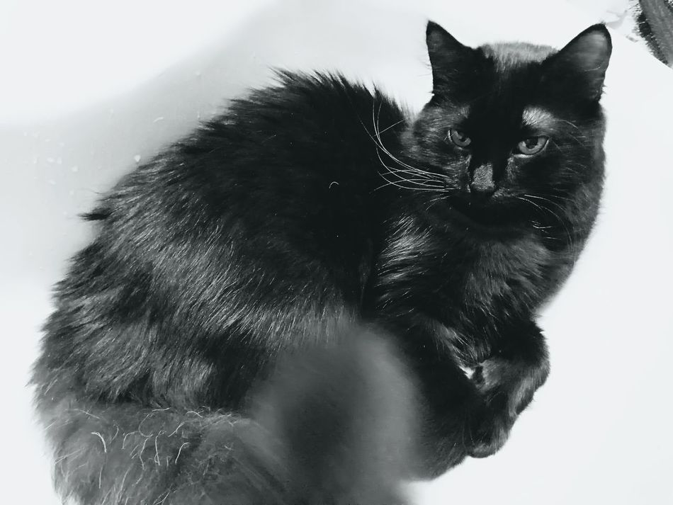 Giolletta Black Color Pets Domestic Animals Animal Themes One Animal Domestic Cat Black Cat Is Just So Beautiful. Cat Cat Photography I Love My Cat Cat♡ One Cat Animal Animal_collection Beatiful Cat Black Cat Cats 🐱 Kitten 🐱 Black Cat Photography