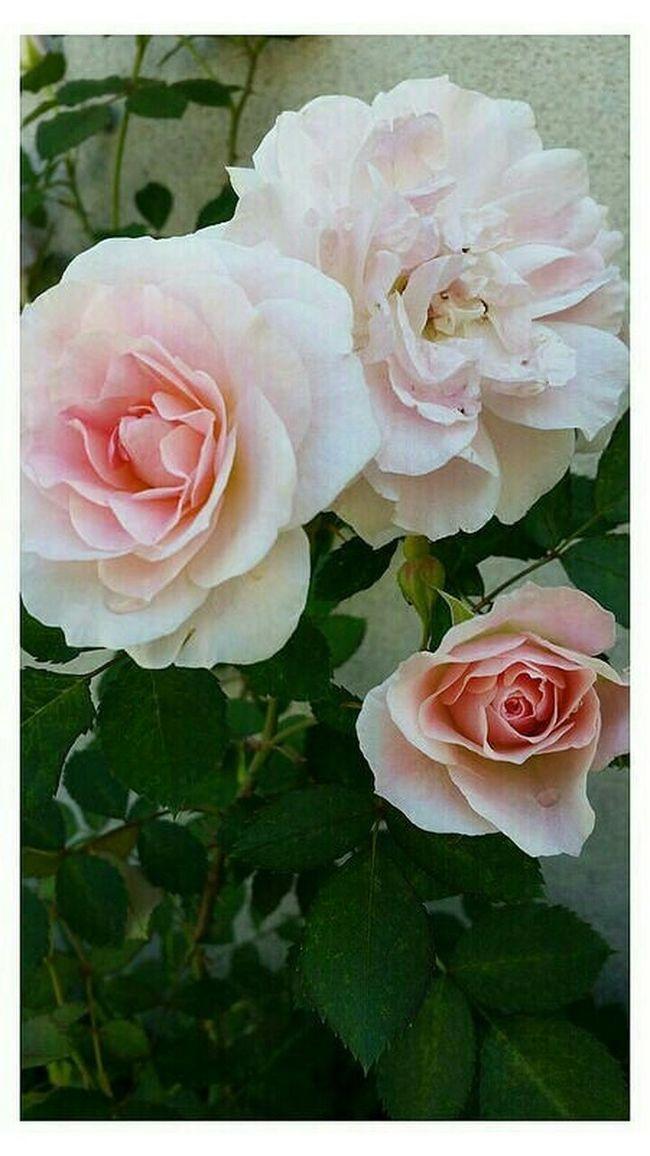 Photo Des Fleurs Pink