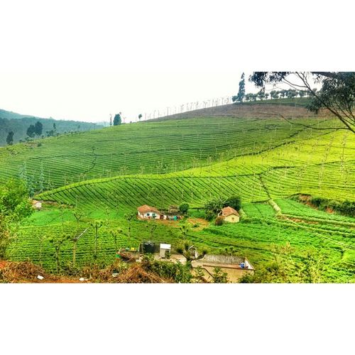 Ooty Teaestate Cellphonephotography Teaplantation Greenery Nature Mobilephotography Snapseed LGG2