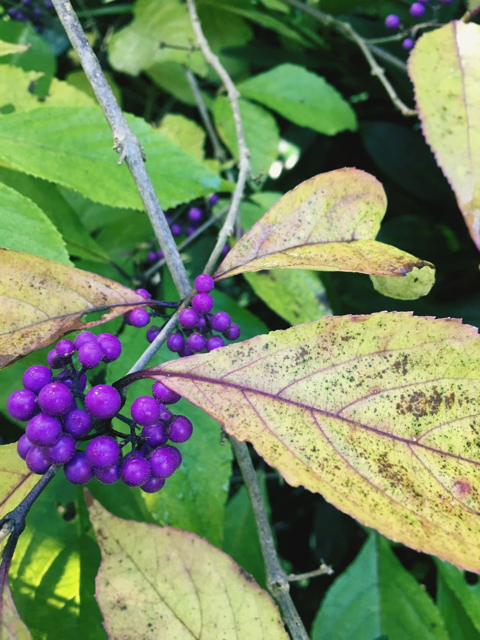leaf, nature, growth, beauty in nature, purple, day, green color, outdoors, plant, close-up, freshness, fragility, no people, autumn, flower