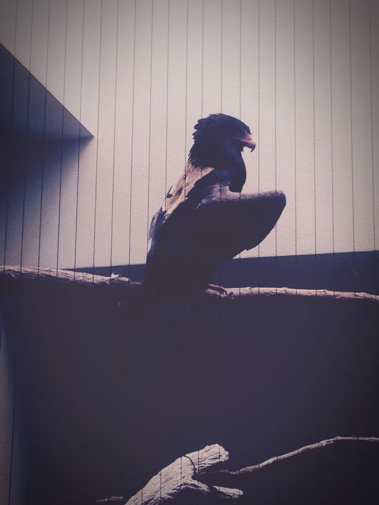 Bird Stately Feather  Stripes Everywhere Stlouis Zoo Animals Animal Birds Birds_collection Birds_n_branches Eagle Eagles