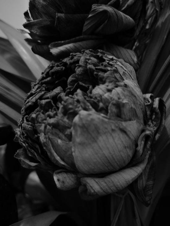 Lotus Flower B&w Black & White Nature Dry Flower  Dryflower B&W Collection