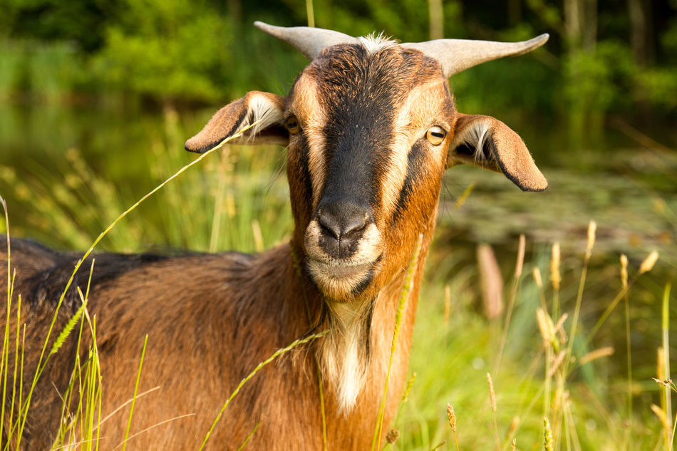 Beautiful stock photos of grass,  Animals In The Wild, Animal Wildlife, Cute, Goat