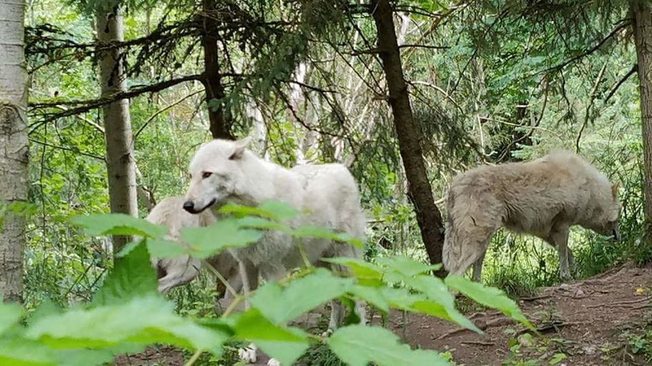 Fine Art Photography WOlves Leader Of The Pack Dont Mess With Me Protecting Where We Play And Live Woodland Park Zoo Unedited The Purist EyeEm Gallery EyeEm Nature Lover Hidden Gems  EyeEm Best Shots Adventure Club