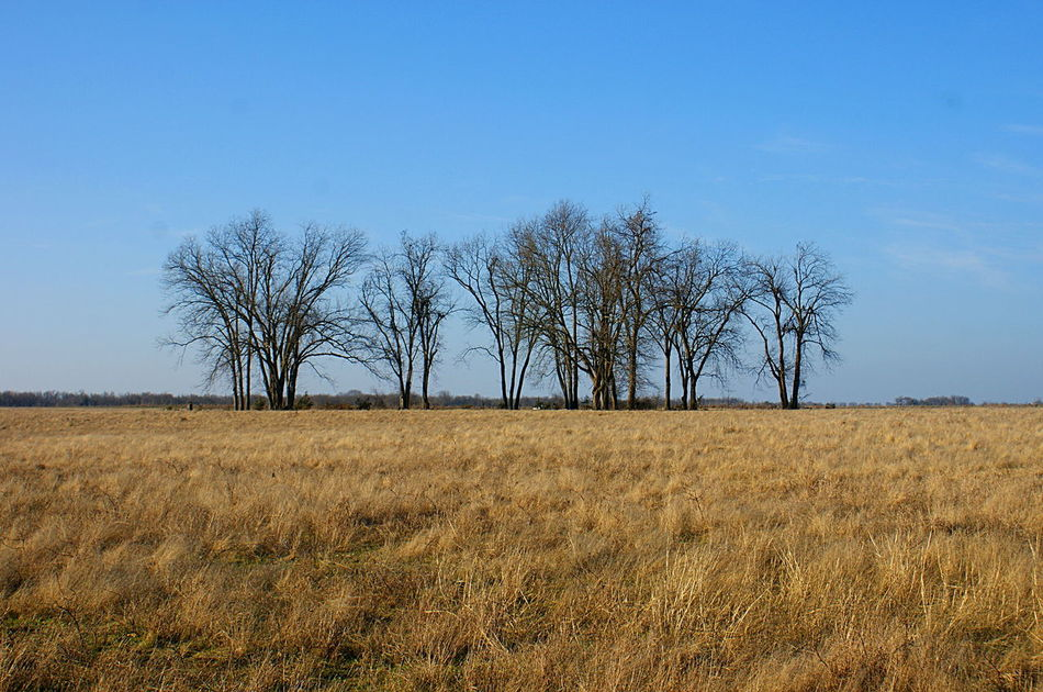 A field of amber winter grasses, grain, and a line of bare trees against a clear blue sky in rural Texas. Bare Tree Beauty In Nature Blue Sky Clear Sky Day Field Golden Light Grain Grass Landscape Minimalist Landscape Nature No People Outdoors Rural Rural America Scenics Silhouette Sky Tranquil Scene Tree