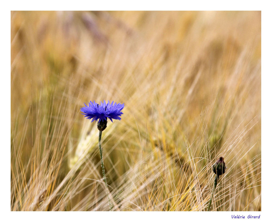 Beauty In Nature BLE Bleuets  Botany Champs Epi Fragility Nature
