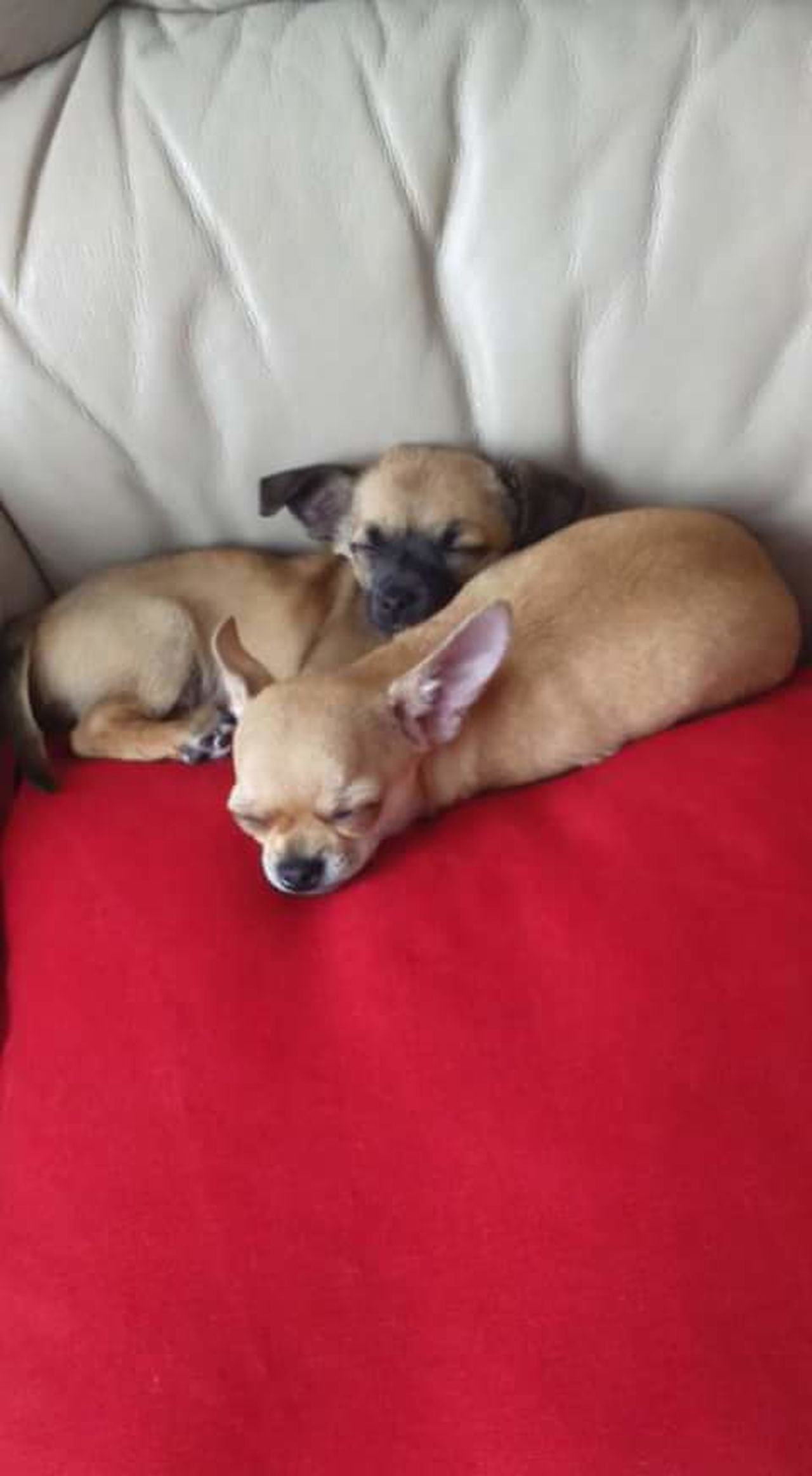 Sleeping Dogs Sleeping Puppies Napping Dogs Napping Puppy Nappin Chihuahua Chihuahuas Chihuahua Puppies Chihuahua Lovers Cute Pets Cute Dogs Cute Puppies My Dogs My Puppies Cute Canines Puppies Dogs Let Sleeping Dogs Lie Two Dogs Chihuahuamix