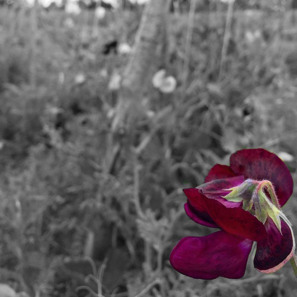 Sweet Pea plot at The Oak-Tree Low Carbon Farm, Suffolk. Ipswich Suffolk Sweetpea  🌷 Flowers 🌹 Flowerporn Farm Markets Iphonephotography