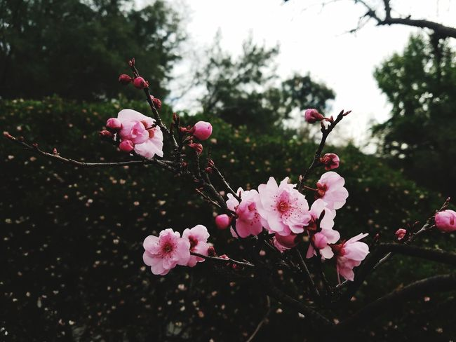 Pink Color Flower Blossom Tree Nature Botany No People Beauty In Nature Flower Head Outdoors Branch Close-up