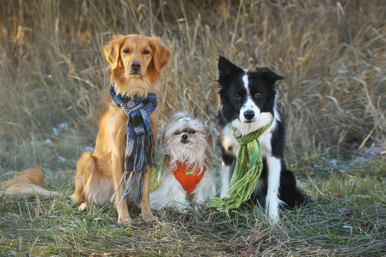 Dogs in scarves; Kova, Peanut, and Dazzle Autumn Beautiful Dogs Border Collie Cute Dogs Dazzle Dog Dogs Dogs In Clothes Fall Family Photo Golden Retriever Group Portrait Harvest Katherine Katsdogs Kova Martucci Outdoor Dog Pawtucci Peanut Retriever Scarf Scarves Shihtzu Trick Dogs