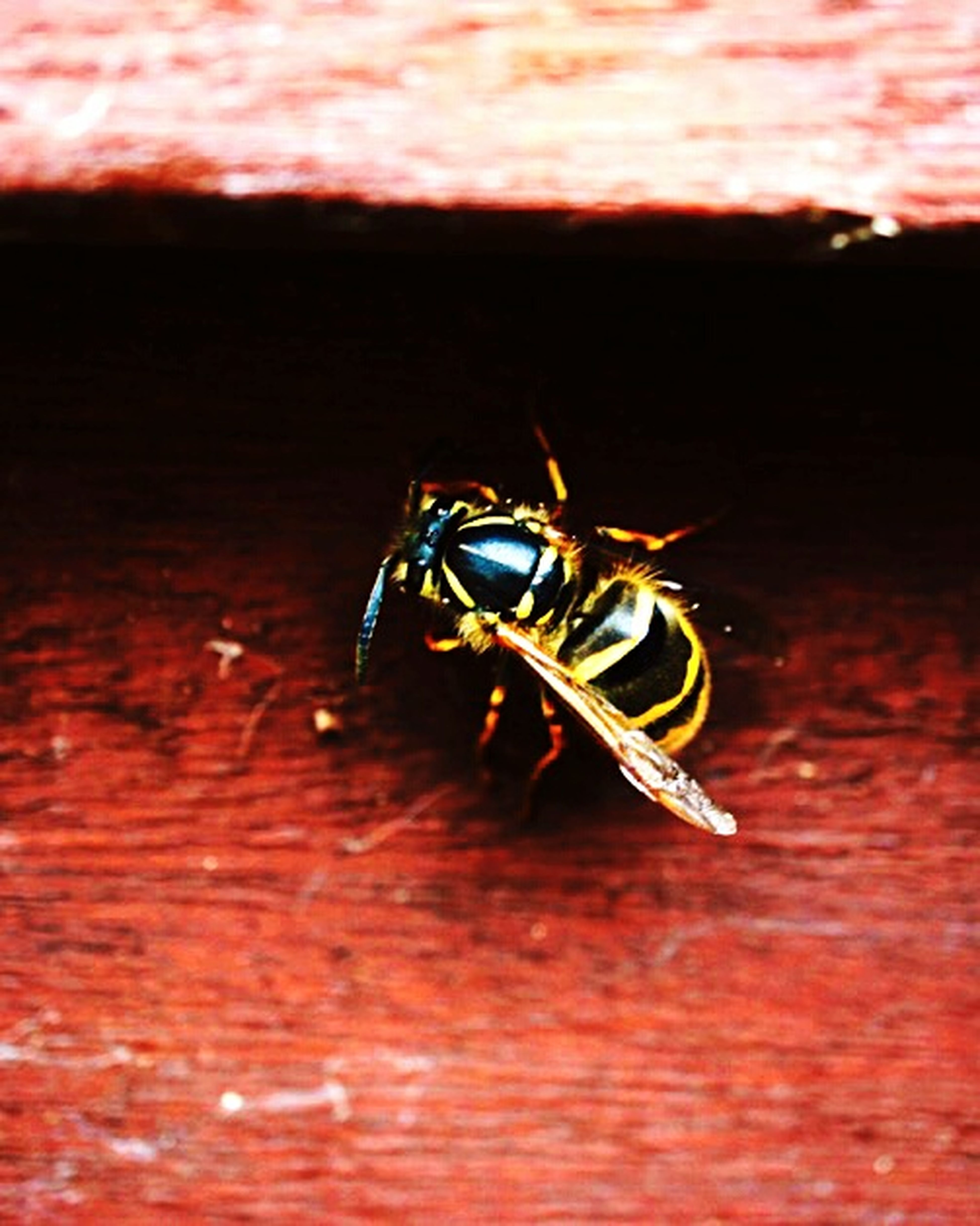 Insect Animal Themes Close-up One Animal No People Outdoors Wasp Close Up Wasp Macro Wasp In Winter