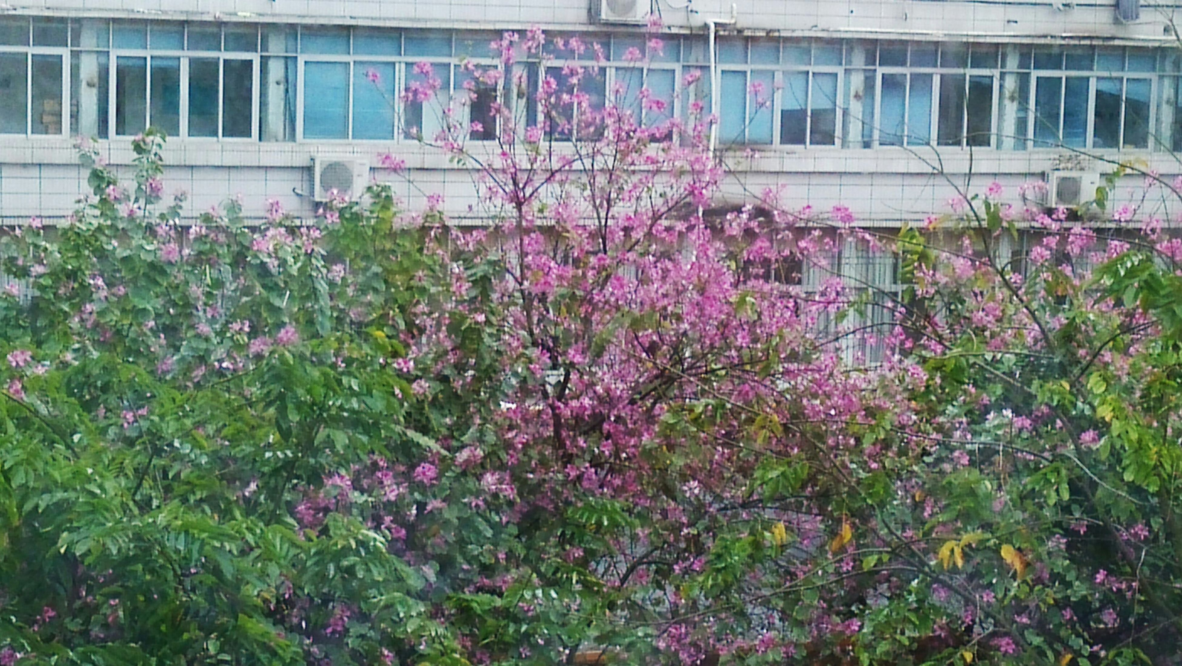 flower, building exterior, freshness, growth, architecture, built structure, fragility, plant, blooming, pink color, nature, beauty in nature, tree, blossom, in bloom, low angle view, day, outdoors, branch, petal