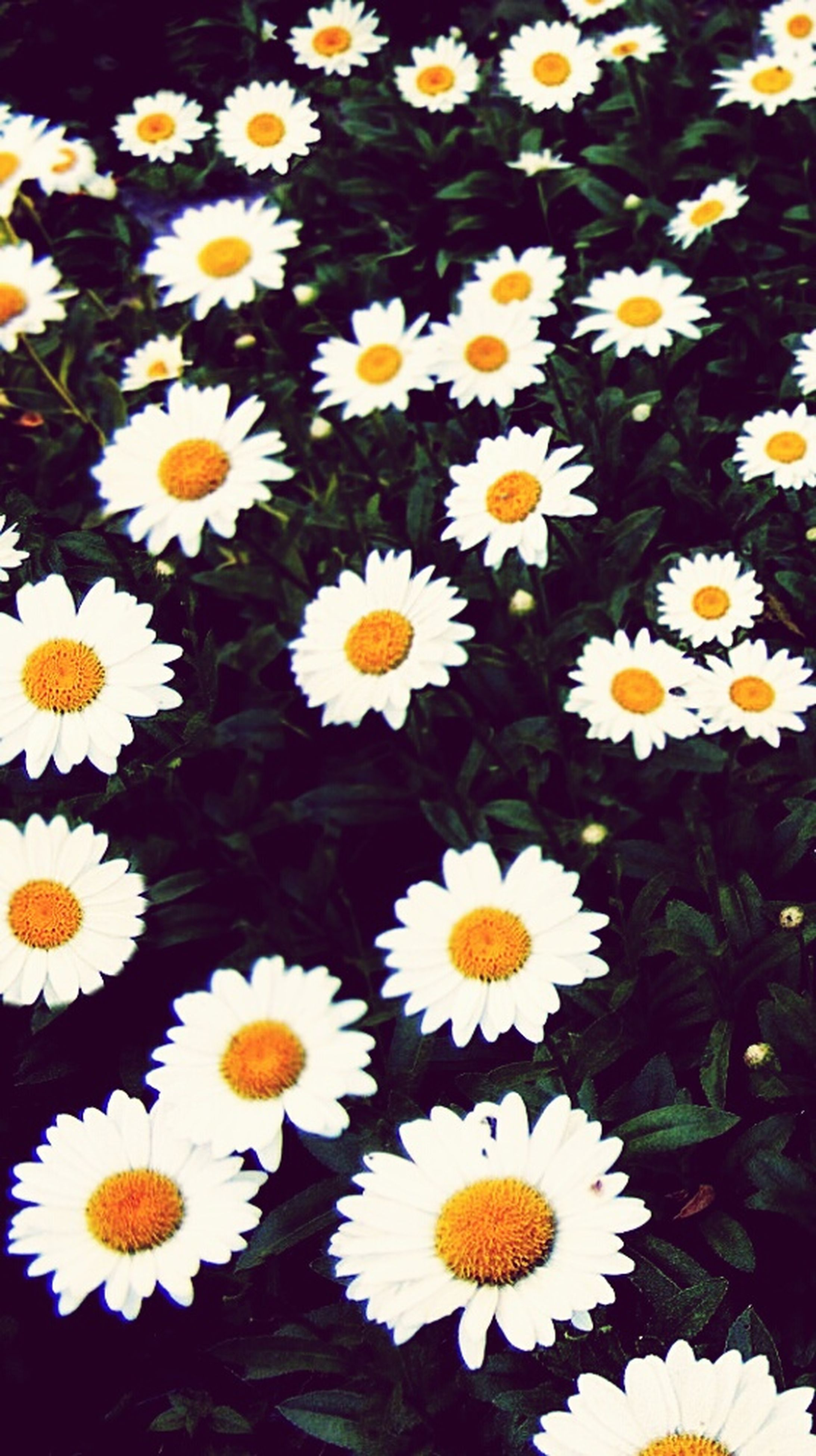 flower, daisy, freshness, fragility, petal, growth, yellow, flower head, white color, beauty in nature, nature, high angle view, blooming, plant, pollen, field, in bloom, abundance, blossom, leaf
