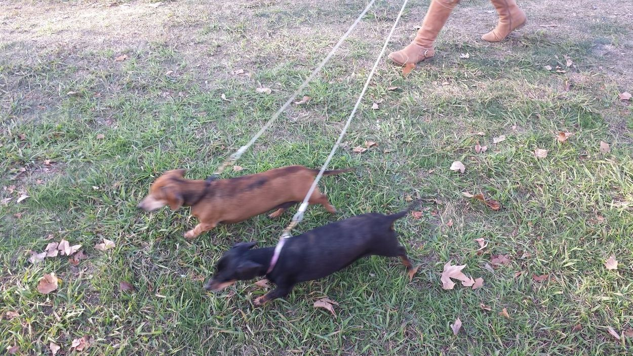 Australia Dogs On Leashes Dogs Walking