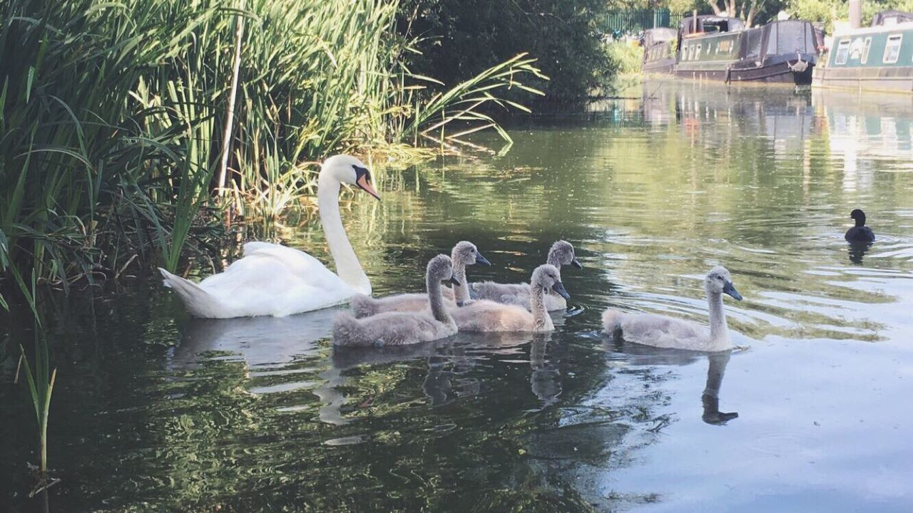 lake, animal themes, water, animals in the wild, bird, swan, swimming, reflection, animal wildlife, young bird, young animal, day, nature, water bird, waterfront, no people, cygnet, animal family, outdoors, large group of animals, togetherness