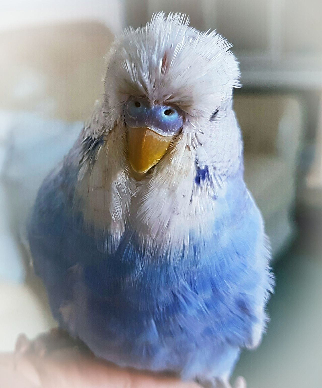 Animal Themes Bird One Animal Budgerigar Indoors  No People Close-up Blue Beauty In Nature Beautiful Boy Alfie Cracking Looking Bird! Pet Pets Birds Budgielove Budgie Budgies Budgie Collection