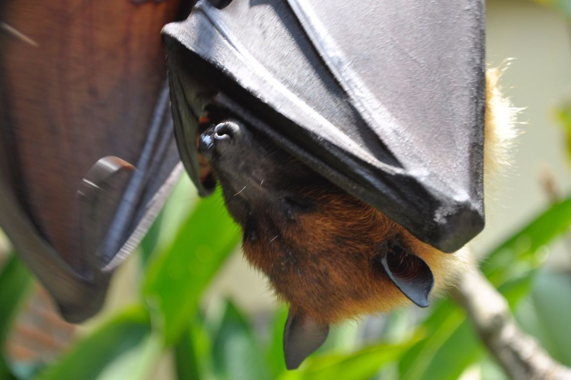 Batman Kelelawar Nikon D90 Bali mahagiri