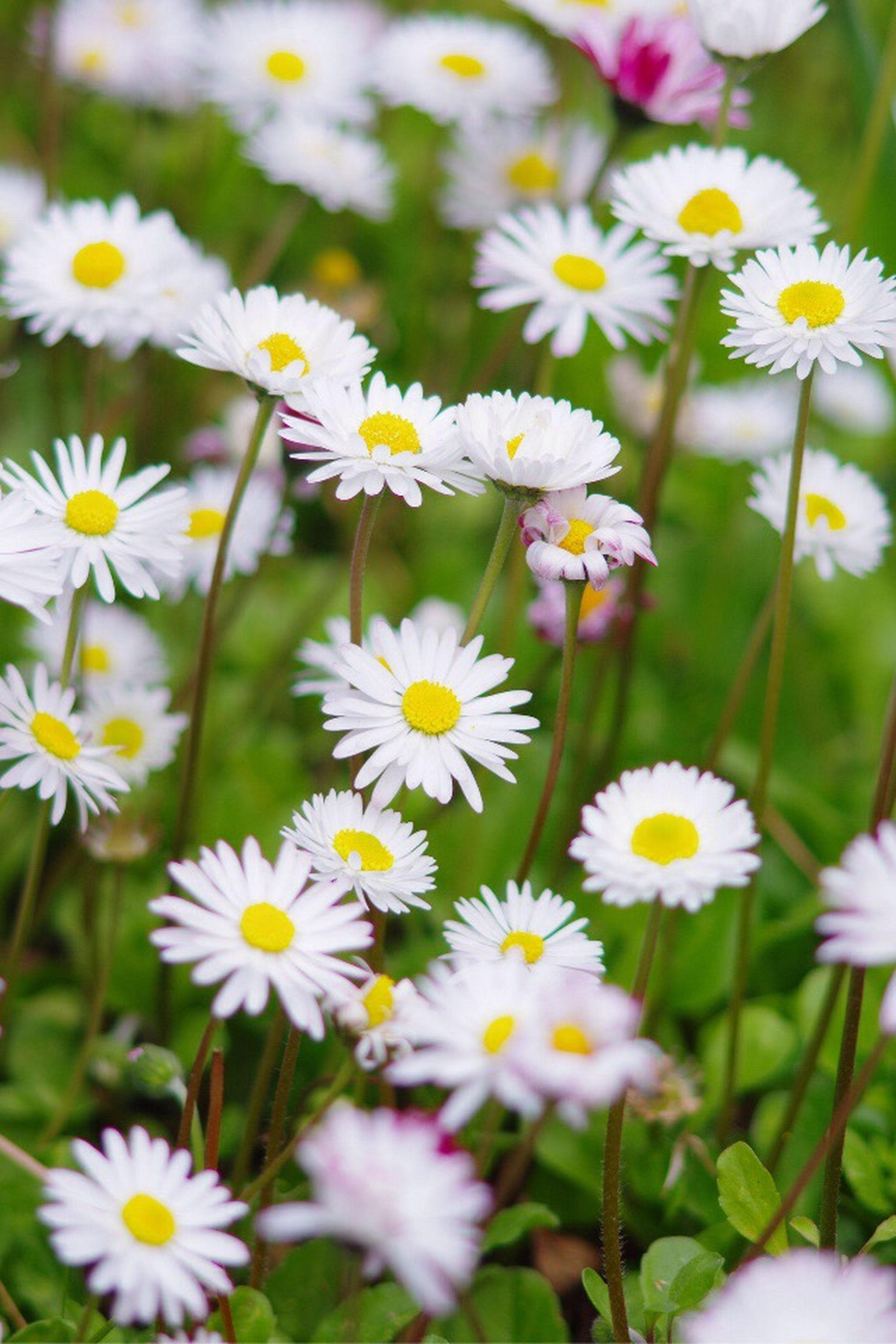 flower, freshness, fragility, white color, petal, growth, daisy, flower head, beauty in nature, blooming, nature, plant, field, focus on foreground, close-up, stem, high angle view, in bloom, day, wildflower