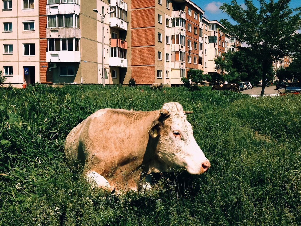 A place to rest... Domestic Animals Livestock Architecture Grass Animal Themes Farm Animal Building Exterior Cow Mammal Cattle Animals Of Eyeem Fresh On Eyeem  Made In Romania City Life Adapted To The City Vscocam My Favorite Photo Found On The Roll Details Of My Life Nature On Your Doorstep Nature City View  Cityscape Resting Street