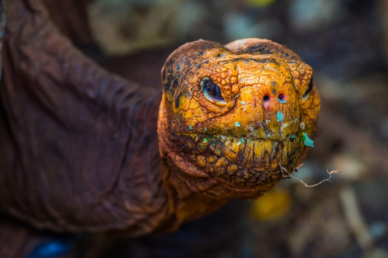 Nikon Nature Nikon D810 Wildlife Tortoise Giant Tortoise Giant tortoise in Galápagos.