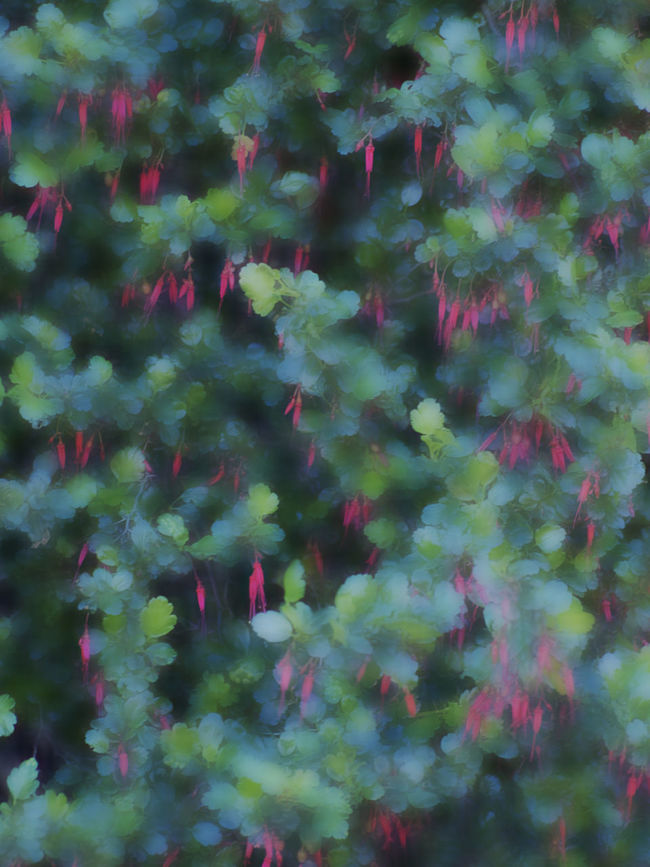 Bird Sanctuary Fuschia-flowering Gooseberry Native California Plant No Better Place To Be Red Flowers Ribes Speciosum Seen Thru My Eyes Thorns And Beauty