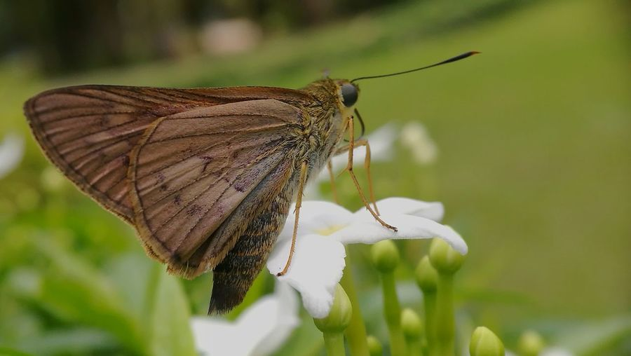 Beauty In Nature Butterfly - Insect Outdoors Nature Close-up Wings Skipper Skipperbutterfly Leaf