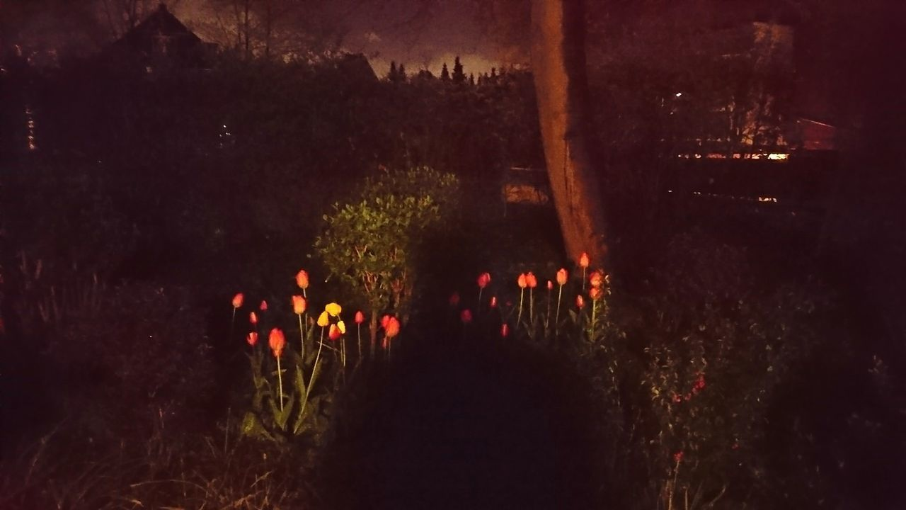 Night tulips, aka when a night photo turns out badly beautiful. · Hamburg germany hh 040 Tulips tulips🌷 Front Yard Urban nature Darkness Like a Painting light and shadow shadows night colors Night Photography — in Hamburg, Germany