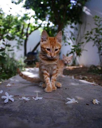 Sawerni w na mafibelich :p P.s old pic Miss them <3 Cat Cats Garden Animals Posing Portrait IgersTunisia Igerskef Tunisiancommunity