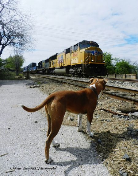 Life on the tracks with Ottis the Pitbull. Texas New Braunfels TX New Braunfels New Braunfels Texas Summertime In NEW Braunfels Pitty Pitbull Pitbulls Pitbull♥ Pit Bull Pitbulllife Pitbulllove Pitbull Love Pitbullsofficial Pittbulls Pittbull Pittie Pitt Bull Train Tracks Train Trains Trainphotography Trains & Railroad Railroad Adventure Buddies