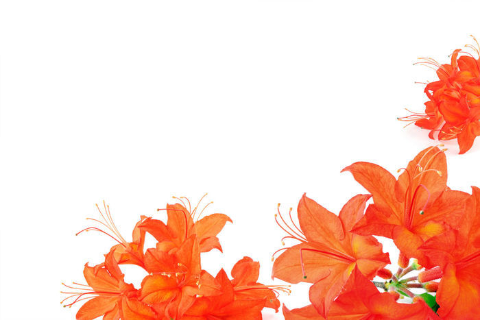 orange red azalea in frame with copy space Blossom Botany Copy Space Flower Flower Head Petal Studio Shot Isolated Isolated White Background Rhododendrons Azalea❤, Azalea Azalee Orange Color Copyspace Copy Space