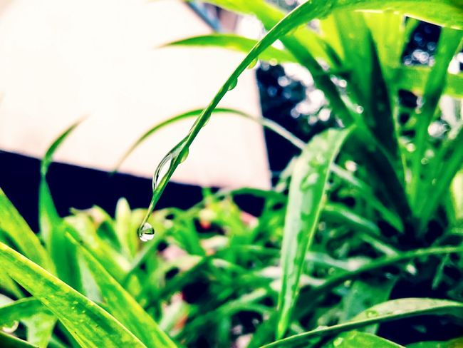 During the class of capture this moments Beauty In Nature Drop Rainy Day Rain Drops On Leaves Selective Focus Freshness Blade Of Grass Leaf