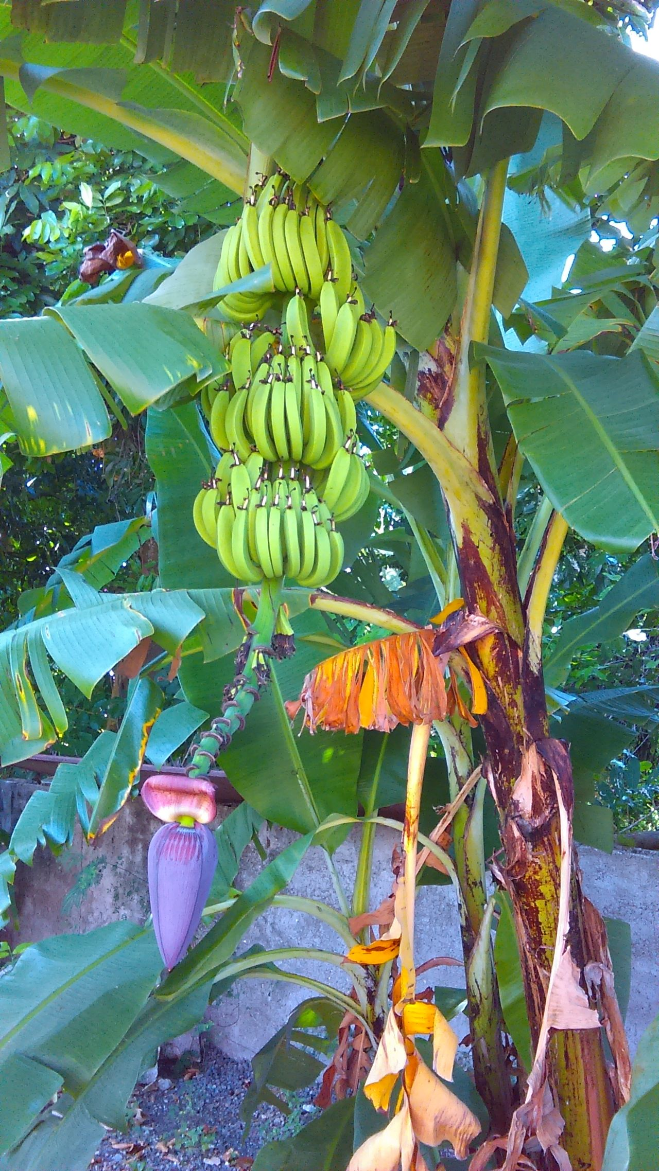 Beautiful Banana Plant Taste Of The Tropics Healthy Eating Tropical Beauty Backyard Beauty Nature Is Awesome