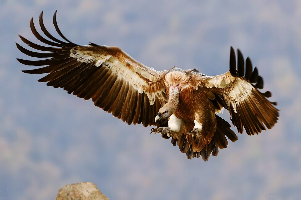 Low Angle View Of Vulture Flying