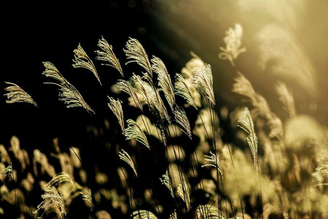 Japan Japan Photography Silver Grass Silvergrass すすき 芒 薄