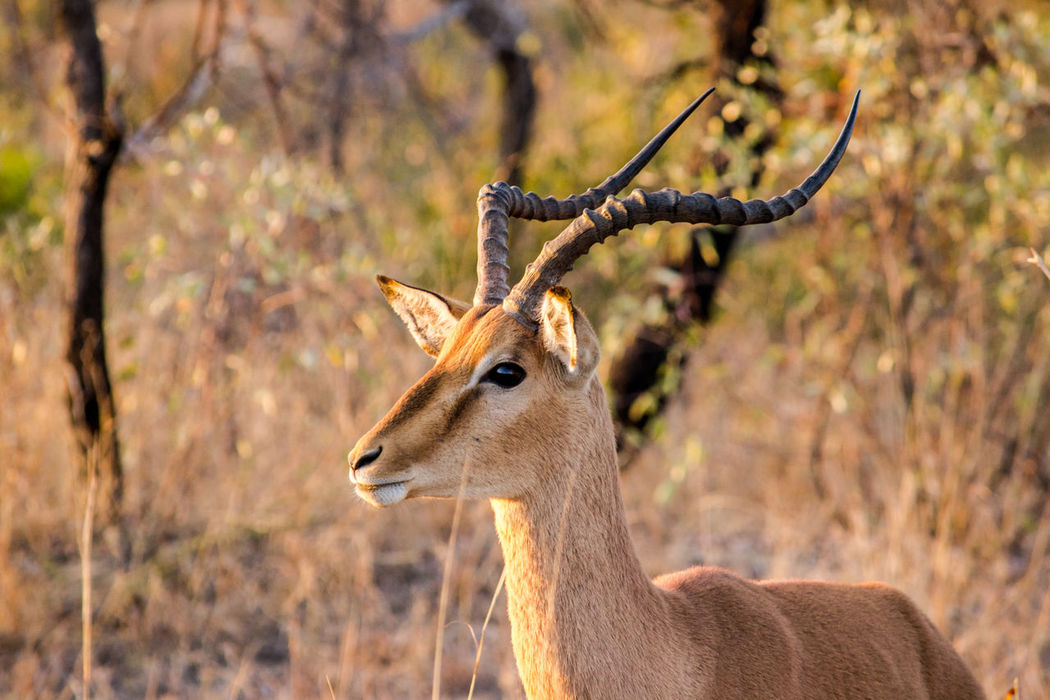 Male Impala in Kruger National Park. Animal Animal Head  Animal Themes Animals In The Wild Animals In The Wild Brown Herbivorous Impala Mammal Mpumalanga Nature Nature Photography One Animal Safari Animals South Africa Wildlife Wildlife & Nature Nature's Diversities