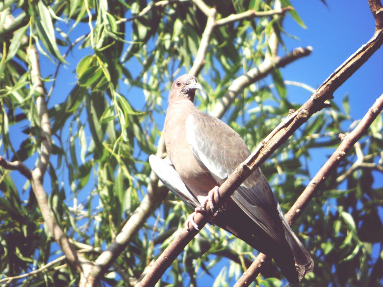 Bird Paloma Nature Fhotografy