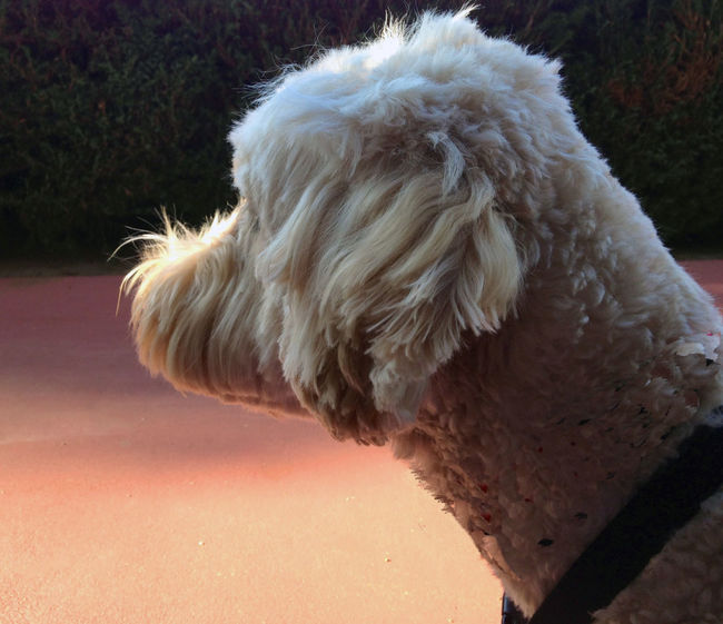 Pastel Power Outdoors Love ♥ Golden Doodle Keeping Watch Dog Dog❤ Dogs Of EyeEm Goldendoodle Golden Doodle Pose