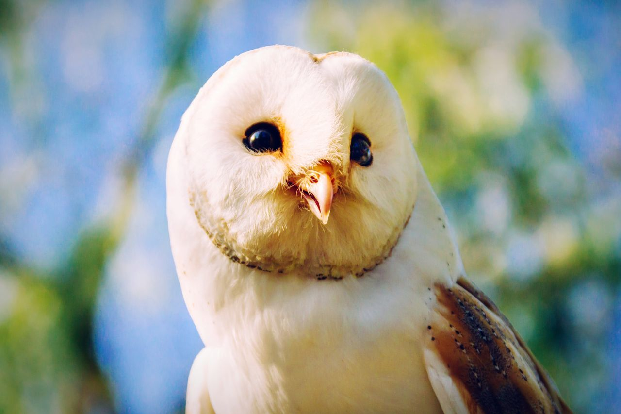 Beautiful stock photos of owl, Alertness, Animal Themes, Animals In The Wild, Barn Owl