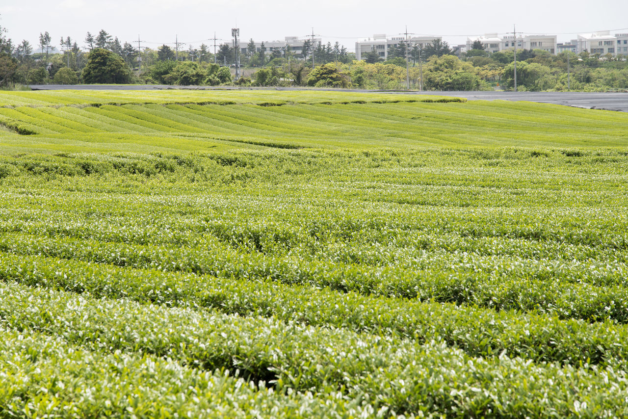 landscape of green tea field at Osulloc in Jeju Island, South Korea Agriculture Beauty In Nature Day Field Freshness Grass Green Color Green Tea Field Growth JEJU ISLAND  Landscape Nature No People Osulloc Outdoors Rural Scene Scenics Sky Tranquil Scene Tranquility Tree