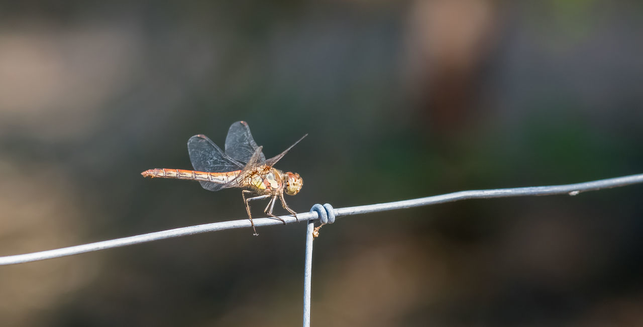 Dragonfly on a fence Animals In The Wild Background Close-up Close-up Shot Day Devil's Darning Needle Dragonfly Dragonfly On Fence Dragonfly_of_the_day Dragonflywings Dragonfly💛 Focus On Foreground Insect Insect Paparazzi Insect Photography Macro Nature Macro Photography Nature Nature Photography No People One Insect Perching Selective Focus Tranquility Zoology