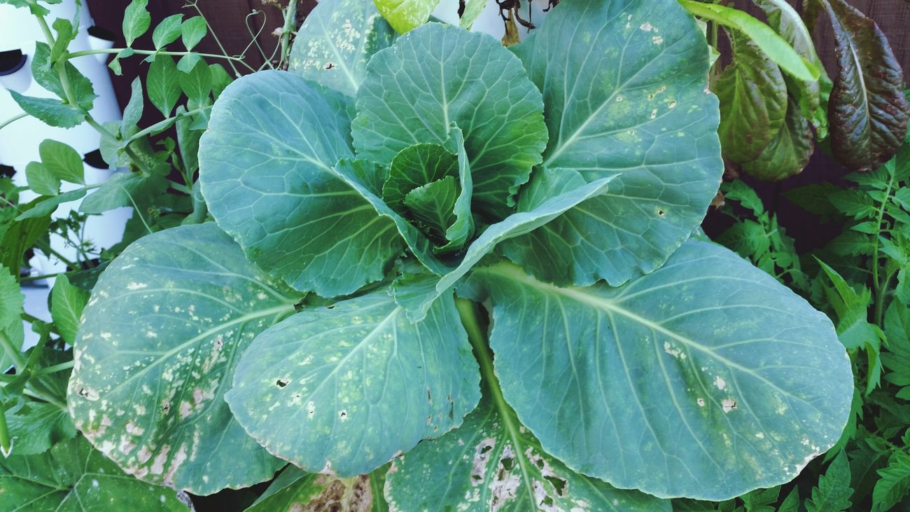 This is my aeroponic cabbage plant. Isn't it gorgeous?! Relaxing