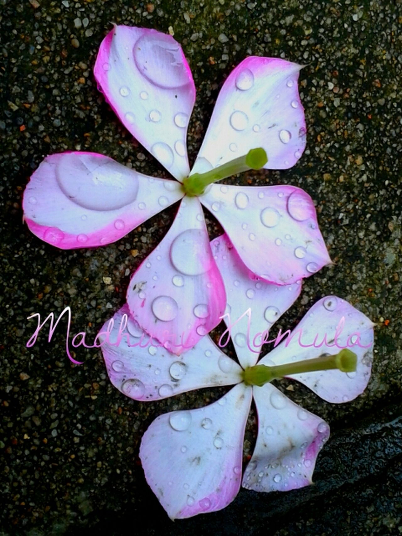 Fallen flowers.. 🌼🌸 Flowers Flowers In My Garden Flowers In Rain Rain Rain Photography Rain Drops On Flowers Raindrops Rain Drops On Petals Rain Drops On Pink Flowers Mobile Photography Contrasting Colors Naturesbeauty Showcase June Two Is Better Than One