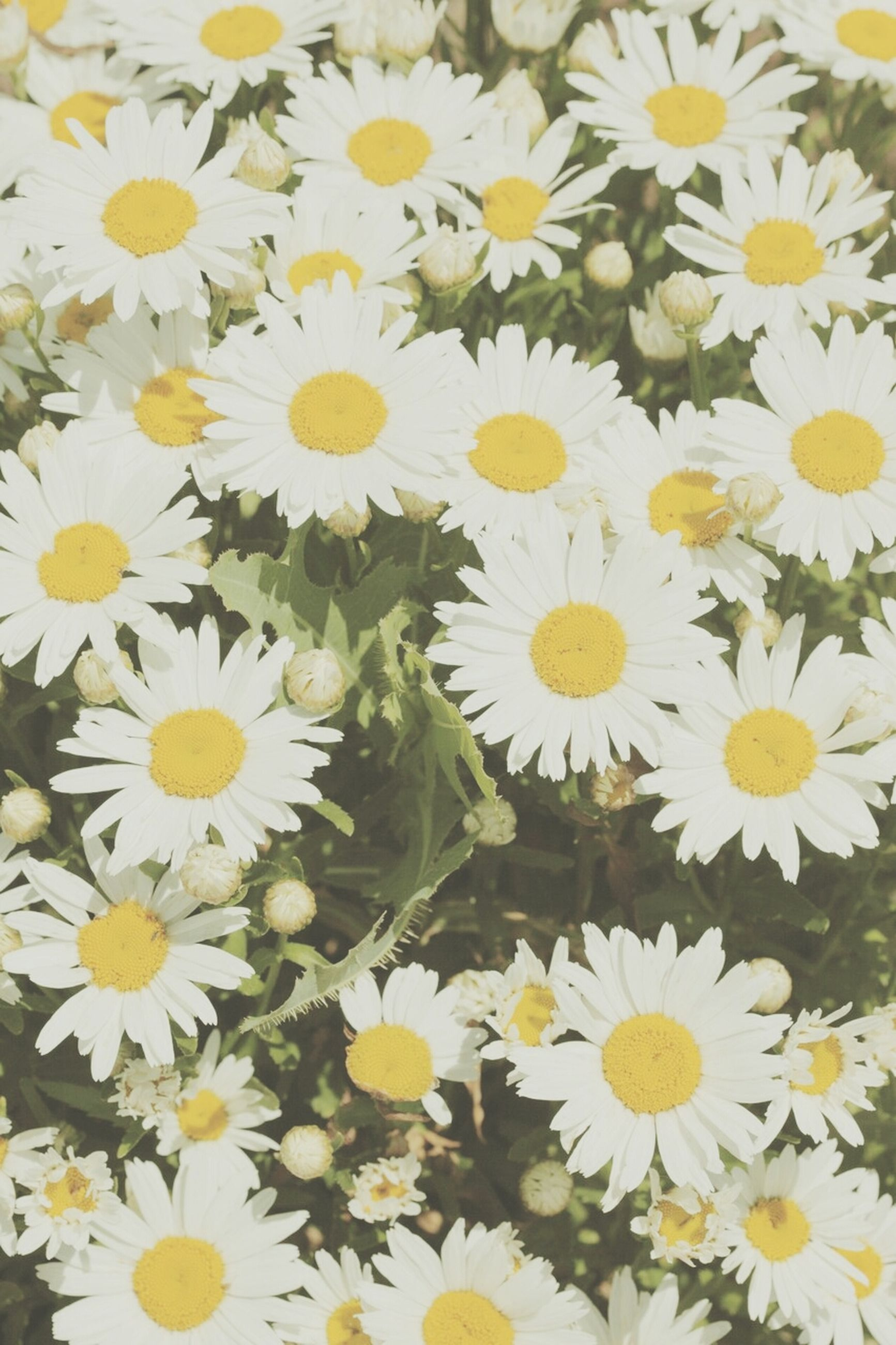 flower, freshness, petal, fragility, flower head, daisy, yellow, growth, beauty in nature, white color, blooming, nature, full frame, high angle view, backgrounds, pollen, plant, abundance, in bloom, close-up