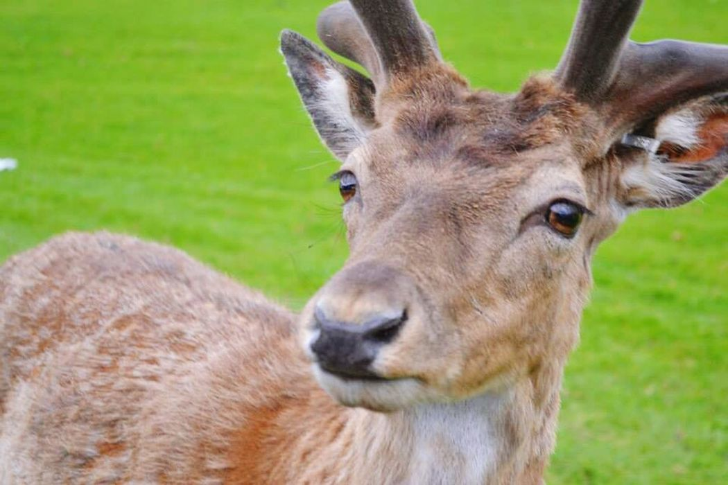 Nosy doe at longleats Animal Themes Mammal Deer Day One Animal Outdoors Field Grass No People Nature Portrait Animal Wildlife Antler Close-up Deer Doe Longleat Safari Park Longleatsafaripark Longleatsafari Longleat Longleat House Longleat Safari & Adventure Park Longleathouse