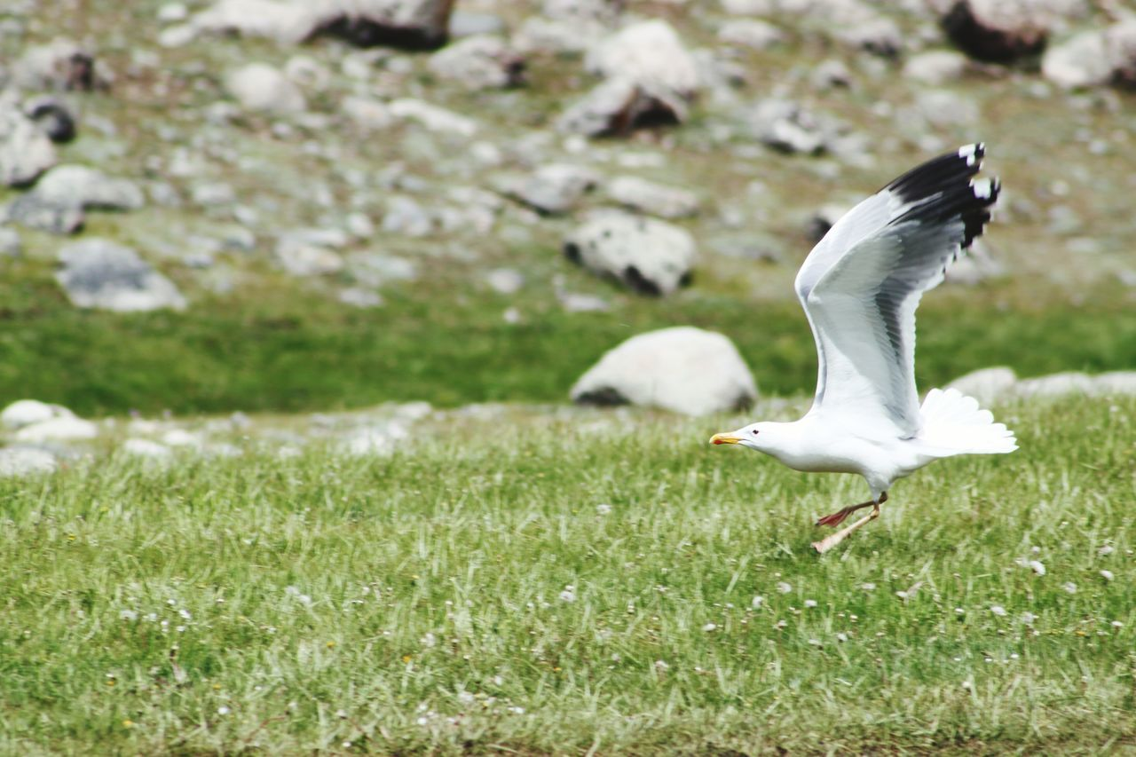 bird, animal themes, animals in the wild, one animal, spread wings, animal wildlife, grass, nature, day, flying, field, outdoors, focus on foreground, no people, green color, mid-air, beauty in nature, close-up
