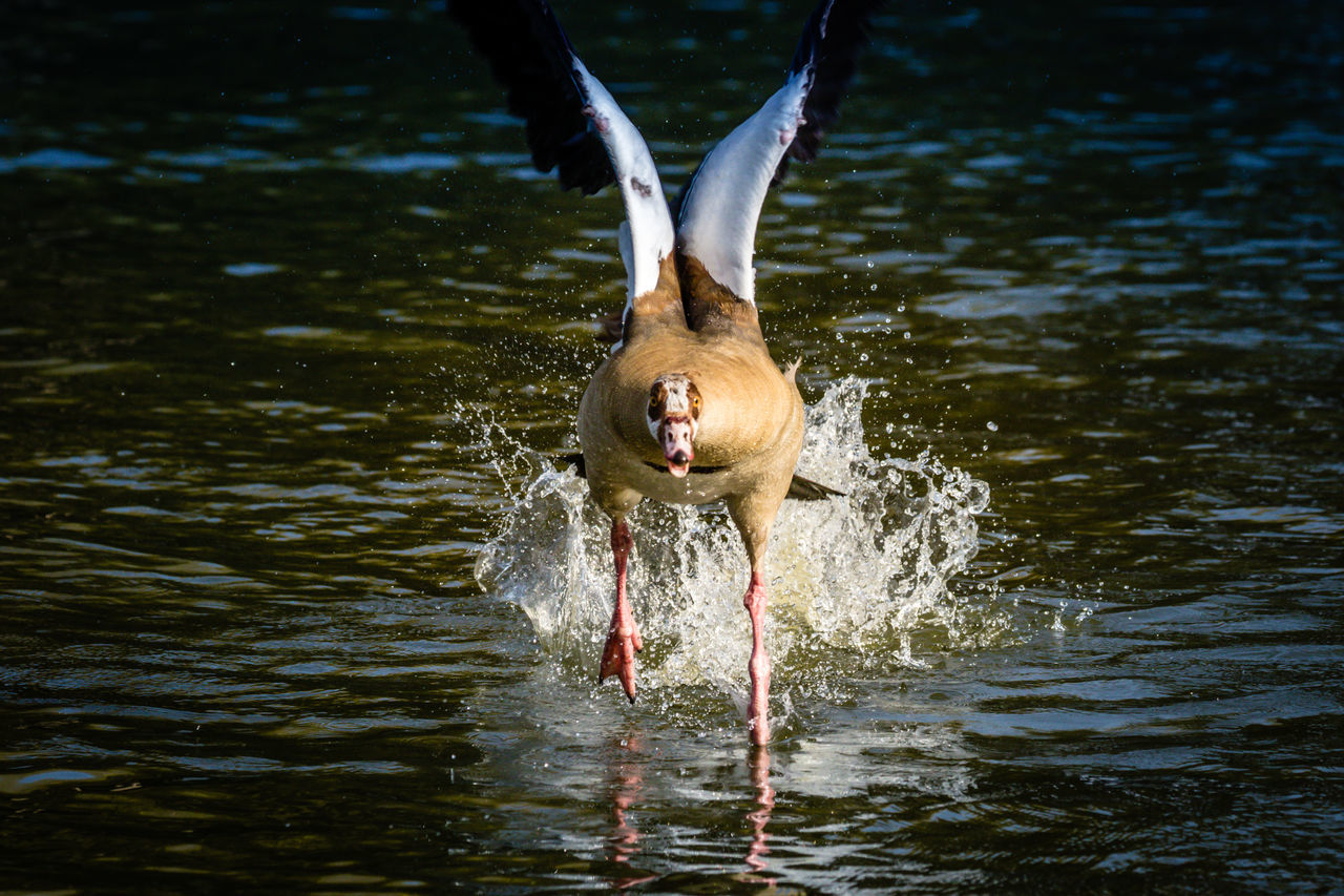 Egyptian goose storming Animals In The Wild Bird Egyptian Goose Egyptian Goose In Flight Lake No People One Animal Water